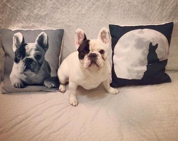 manny the french bulldog