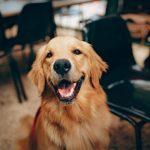 Choosing A Family Dog: The Beagle